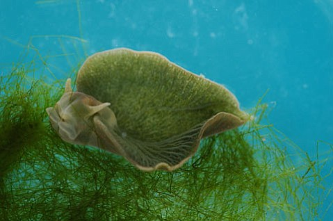 <em>Elysia chlorotica</em>, a sea slug appearing here as a giant swimming leaf, was recently found to be the first known animal to make proteins essential for photosynthesis, which it stole the genes for from algae it eats.  It appears green because of stolen chlorophyll, which makes plants green.