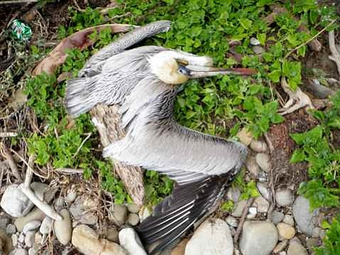 A sick, incapacitated brown pelican found at El Capitan Beach on Friday, February 19.