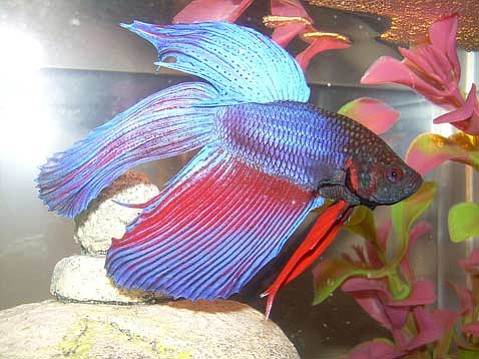 "A century of selective breeding has made <em>Betta splendens</em> into long-finned, vibrantly colored fish; the happiness of this blue and red <em>Betta</em> is apparent by its ""bubble nest"" in the top right."