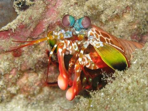 The Sea Center's newest exhibit features a mantis shrimp (different than the one pictured here), which uses its ultra-powerful front claws to punch and stun prey. Mantis shrimps are so strong that they've been known to punch through the glass of their terrariums.