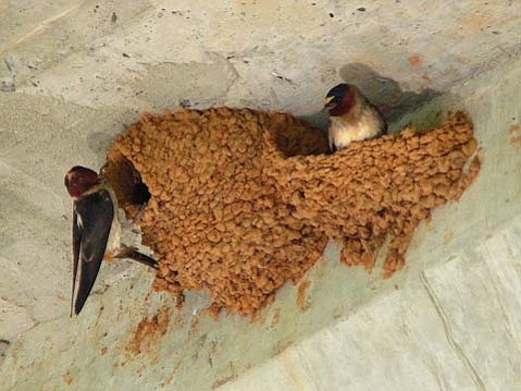 Cliff Swallows (<em>Petrochelidon pyrrhonota</em>) (shown here) and Barn Swallows (<em>Hirundo rustica</em>) have become close neighbors with humans, building their mud nests on many human-made structures, such as the underside of this bridge.