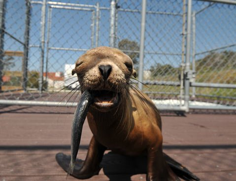 <strong>SARDINE SMILE:</strong>  This hungry sea lion pup—one of dozens rescued and mended by Dr. Sam Dover and his wife, Ruth, (below) every year at their Channel Islands Marine and Wildlife Institute—was released back on the Islands just a couple weeks after this picture was taken. Fattened up and treated for wounds, the pup learned to hunt on his own thanks to the Dovers' care and is reportedly doing well back out in the wild.