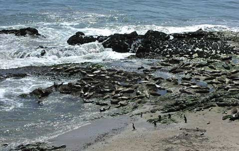 The seal rookery