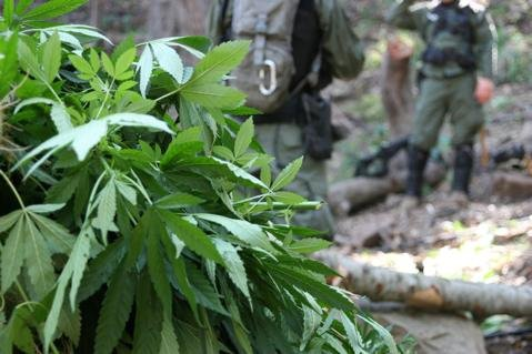 Sheriff's deputies with the Special Investigations Division work to clear out an illegal marijuana grow