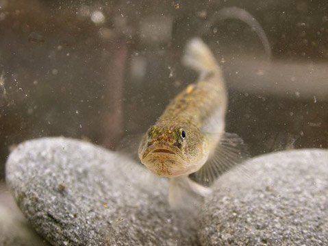 The tidewater goby may not be the most prepossessing of fish, but efforts to protect it have made it a local sensation and benefited its brackish habitat.