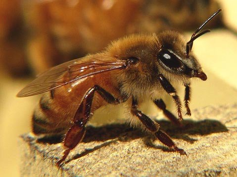 About one third of the crops in the U.S. need the domesticated European honey bee (<em>Apis mellifera</em>) to thrive, but its numbers have greatly declined after the emergence of the mysterious Colony Collapse Disorder in 2006.  Luckily, a study published last month may help beekeepers devise a cure.