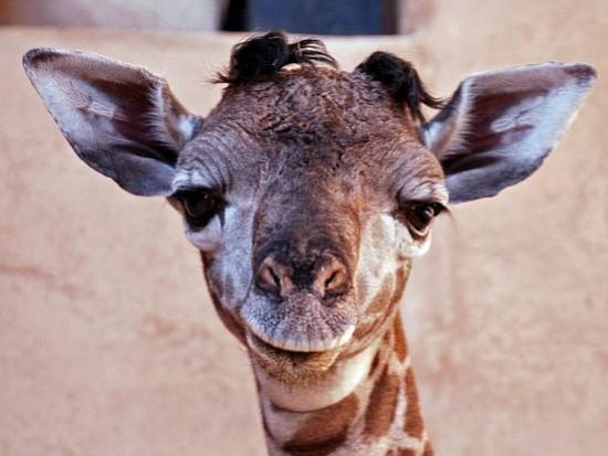 Daniel, a Masai giraffe born at the Santa Barbara Zoo on January 9