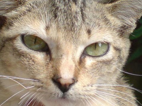All domestic cats today, such as the tabby cat shown here, are thought to be descended from the Middle Eastern wildcat (<em>Felis silvestris lybica</em>), which they don't look very different from today.