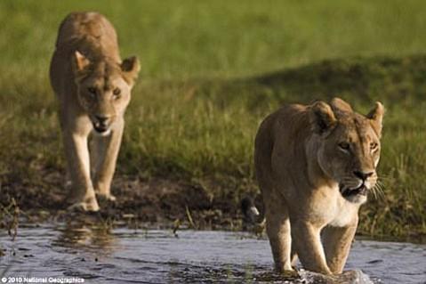 <em>The Last Lions</em>