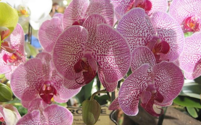 66th Santa Barbara International Orchid Show