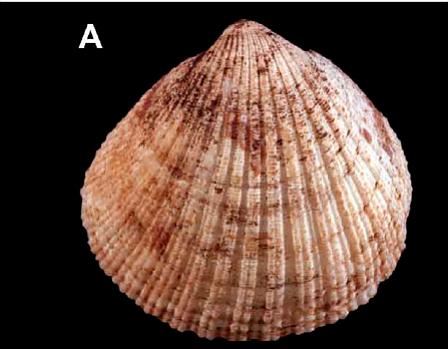 <em>Tucetona isabellae</em>