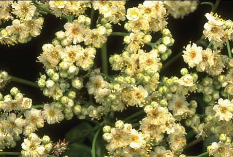 Santa Cruz ironwood (<em>Lyonothamnus floribundus</em>).