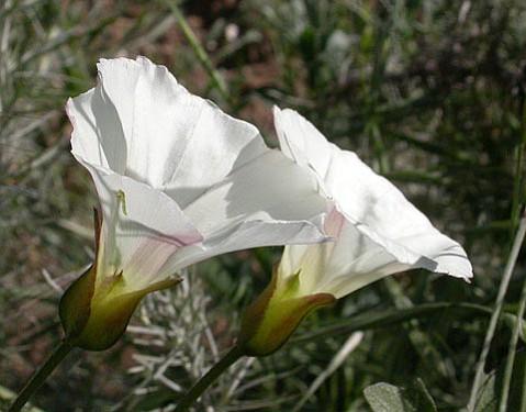 California Morning Glory (Calystegia macrostegia)