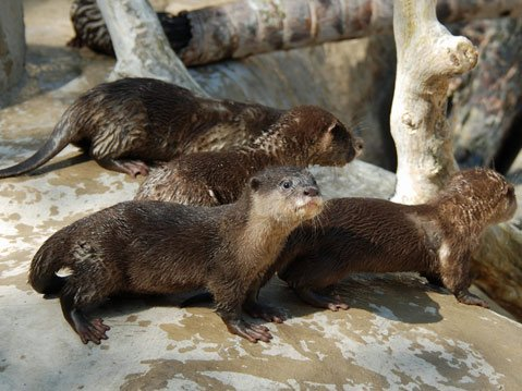 Visitors to the S.B. Zoo can view the latest litter of Asian small-clawed otters.