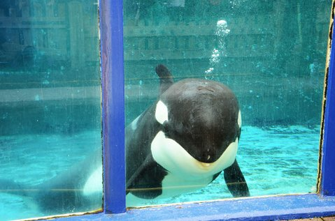 Morgan the orca, looks out of her tank at Dolfinarium Harderwijk in the Netherlands