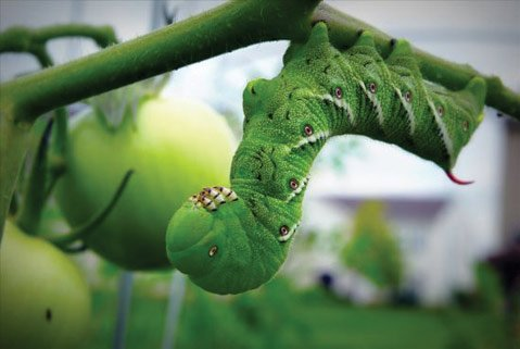 Hornworm