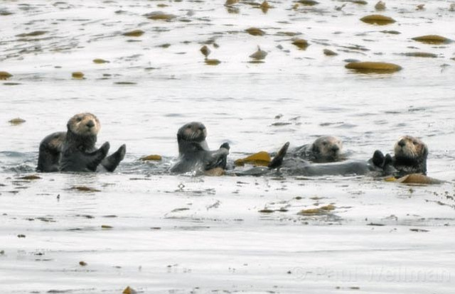 <strong>CUTE CULPRITS?</strong>  Fishermen argue that if sea otters are listed under the Endangered Species Act, the species  —  known for its insatiable appetite  —  will decimate fisheries and actually starve itself to death.