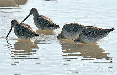 "<strong>ALL SYSTEMS GO:</strong>  ""This project is the victory lap,"" said planner Andrew Bermond, of the return of tidal flow to the Goleta Slough around the Santa Barbara Airport, where species like the long-billed dowitcher (above) now visit. ""It's proof that the FAA is alright with wetland restoration and that it's feasible."""