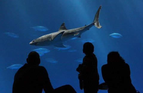 The juvenile great white shark that died off Goleta's coast on display at the Monterey Bay Aquarium