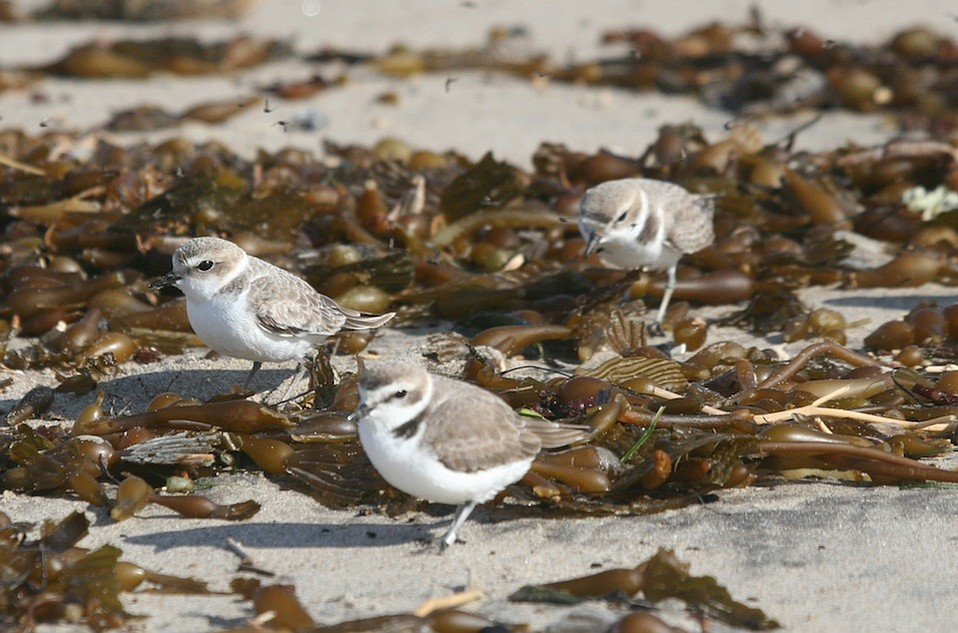 Juvenile western snowy plovers navigate the seaweed by Devereaux Point.