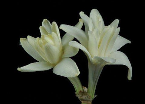 <em>Agave polianthes</em>