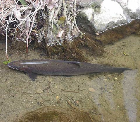 A 30-inch adult steelhead trout in Mission Creek photographed in 2008.
