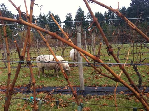 Sheep in a Vancouver Island vineyard.