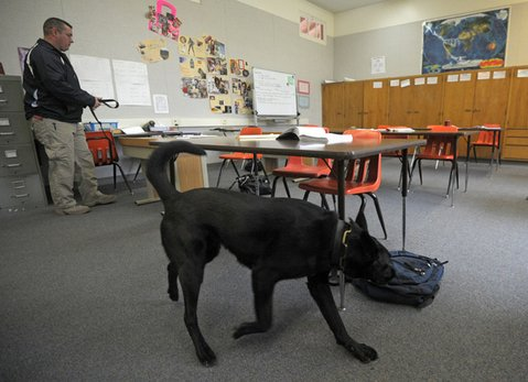<strong>THE DOG NOSE:</strong>  Contraband-detecting canine Skeeter searches a classroom at Chaparral High School in Ojai. He is trained to identify narcotics, commonly abused prescription drugs, and gunpowder.