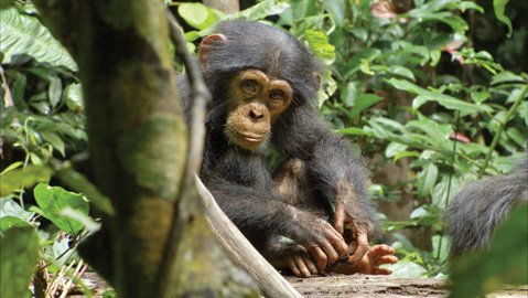 Disneynature's documentary <em>Chimpanzee</em> chronicles the travails of 3-year-old chimp Oscar.