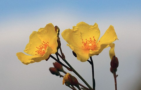 <em>Halimium. H. atriplicifolium</em>