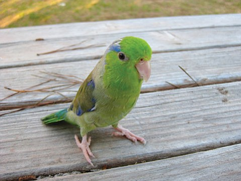 Dibblee, the toast-munching parrotlet, poses for a picture.