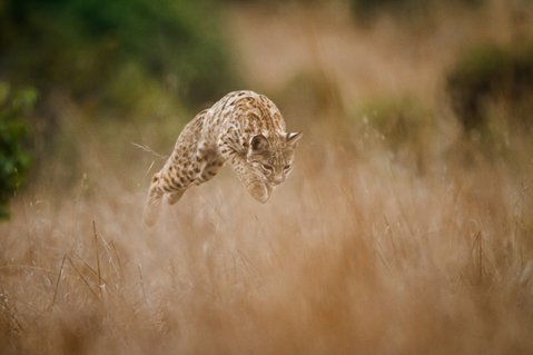 Photographer Barry Rowan calls attention to the beauty and plight of bobcats in Southern California.