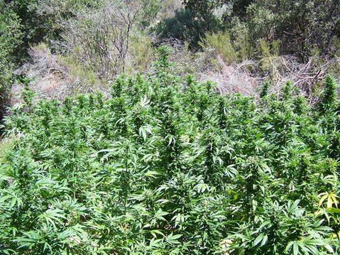 Recent marijuana grow eradications in Santa Barbara County