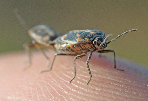 Bagrada bug.