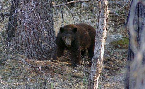 A black bear, defending her cubs, deep in the Los Padres National Forest, during a 2007 trip.