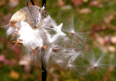 Seeds of milkweeds take flight on fine hairs.
