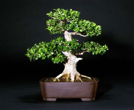 Japanese Boxwood by Stephen Yee