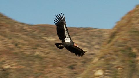 <i>The Condor's Shadow</i>