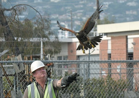 Falconer Gary Bauer and his Harris's hawk Gillian keep seagulls at bay for MarBorg.