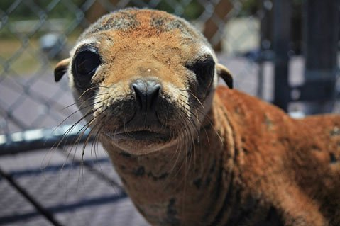 A rescued sea lion pup