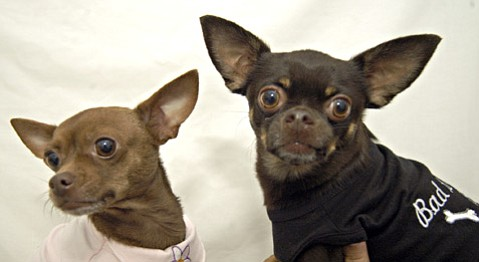 Find cuties like Chica (left) and Simon at the Chihuahua parade.