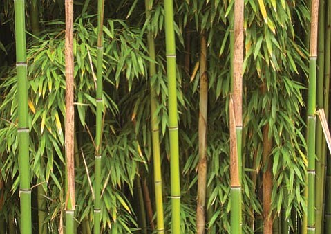 A member of the grass family, bamboo is hated as a pesky growth that crawls under your neighbor's fence into your yard.