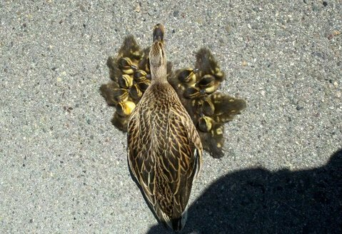 Duck family on Hollister Avenue