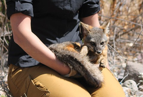 SAFELY SNAGGED: Christie Boser, a biologist with The Nature Conservancy, cradles a captured fox for a quick health check.