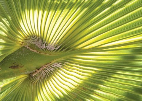 <b>PARADISE FOUND:</b>  A symbol of victory in pre-Christian times, palm trees are today associated with tropical climes and beachy destinations like Santa Barbara.