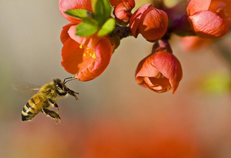 A honeybee pollinating flowers