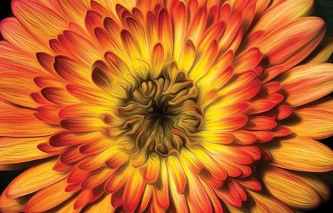 Gerbera flower Cartwheel Series 'Strawberry Swirl' from Sygenta