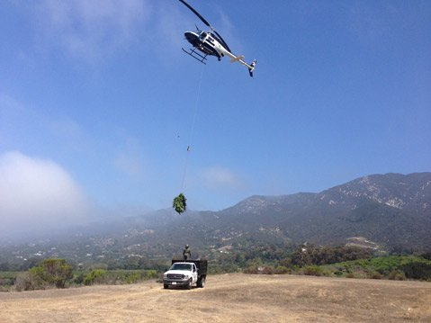Authorities remove marijuana plants from Romero Canyon