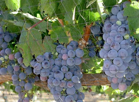 A shot of harvest 2010 from Happy Canyon Vineyard.