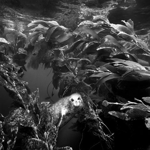 <b>DIVE IN:</b> Harbor seals (including this one, photographed by Ernie Brooks Jr.) are just some of the many sea creatures that will light up the big screen during this year's Santa Barbara Underwater Film Festival.